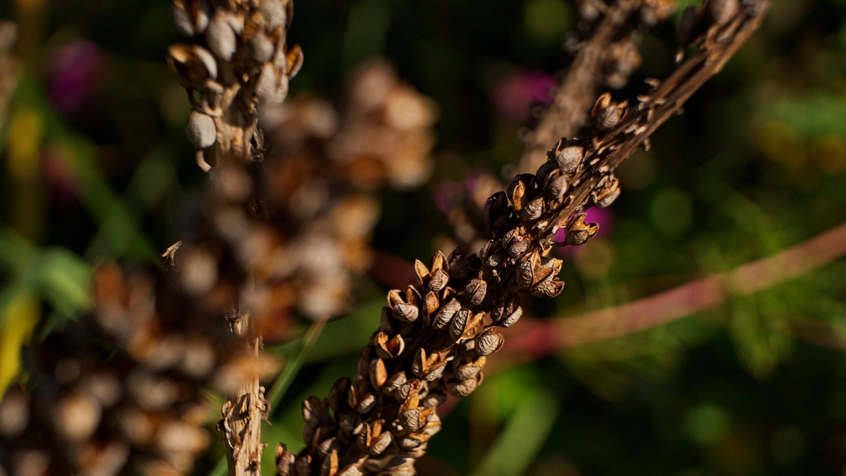 Samenstand Fackellilie