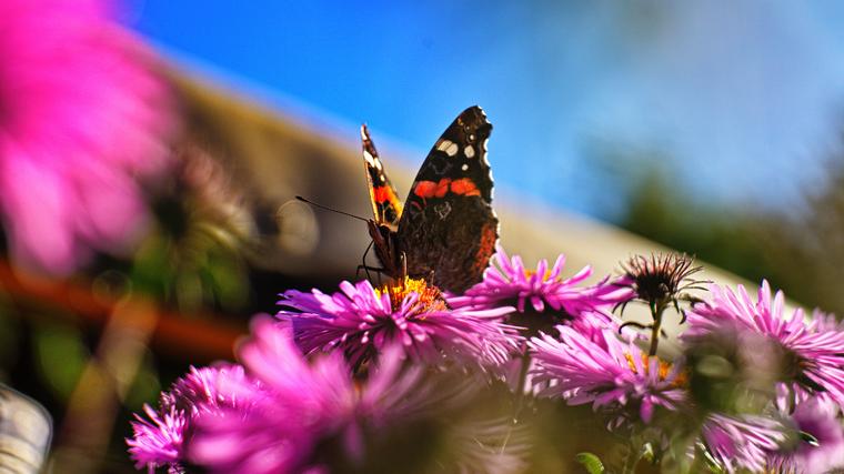 Vanessa atalanta (Admiral) Schmetterling auf Herbstaster
