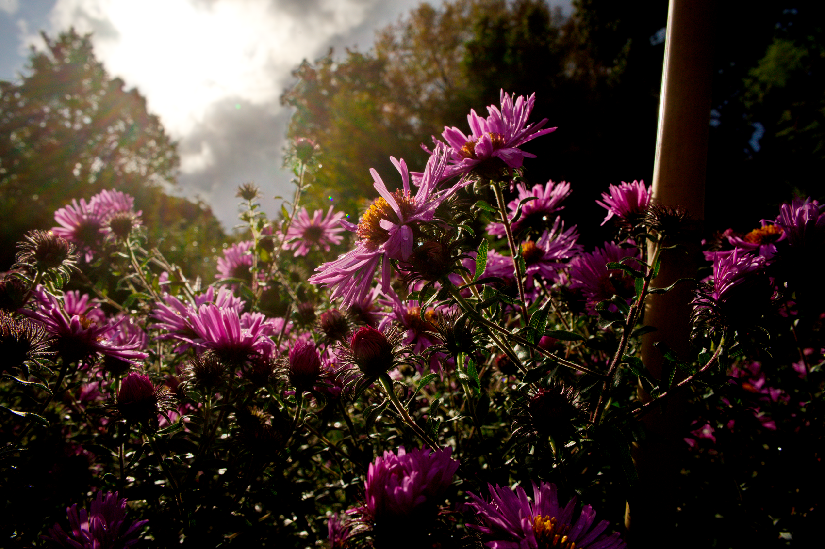 Herbstaster, photo: tma