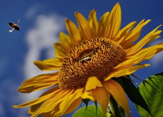 Sonnenblume, photo: tma