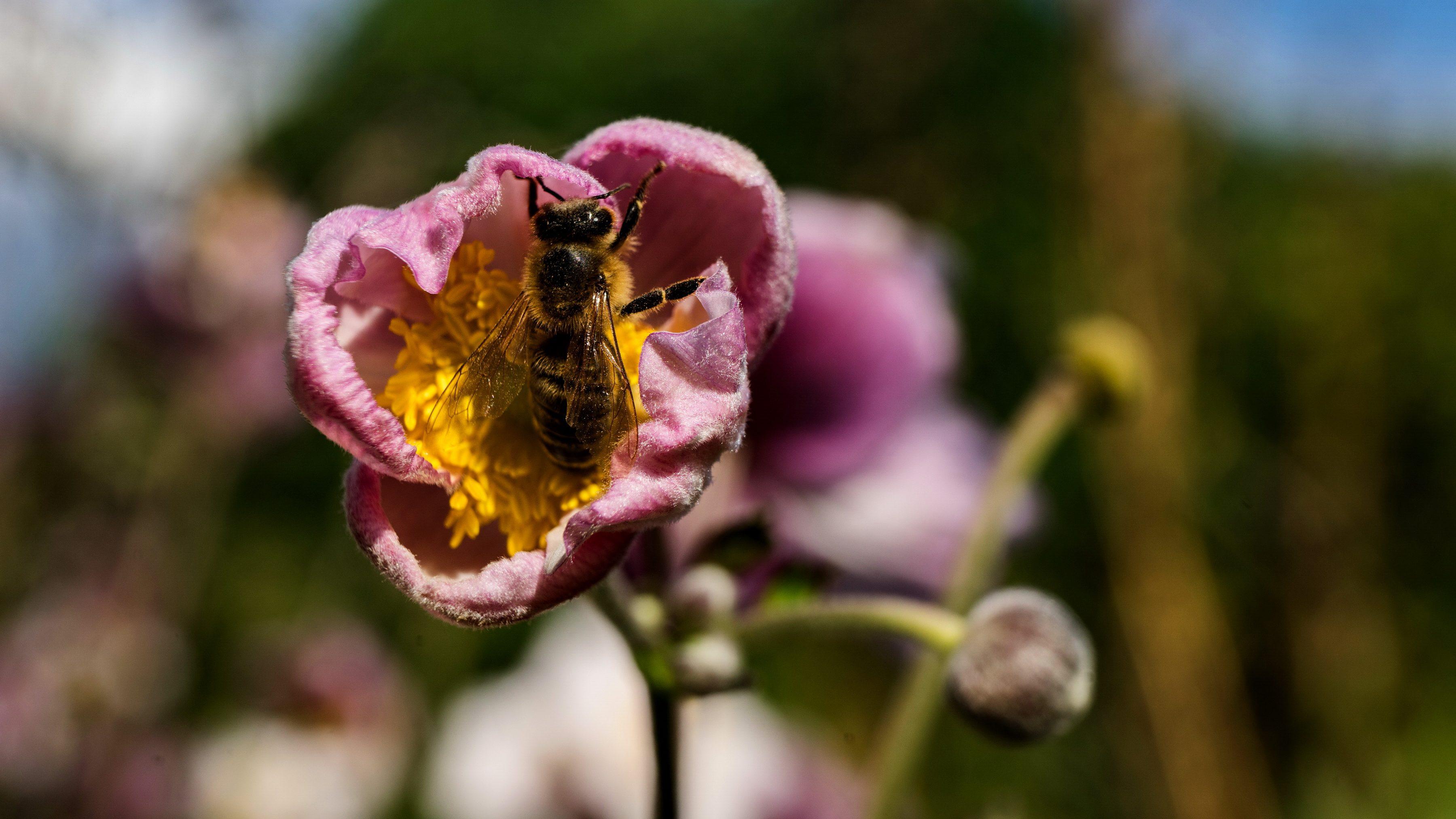 DKGA Britzer Wiesen, Anemone hupehensis, Foto: Thomas Malz